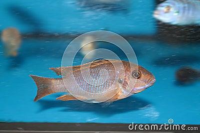 Lavender mbuna (Iodotropheus sprengerae) malawi cichlid aquarium fish.