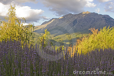 Lavender with mountain