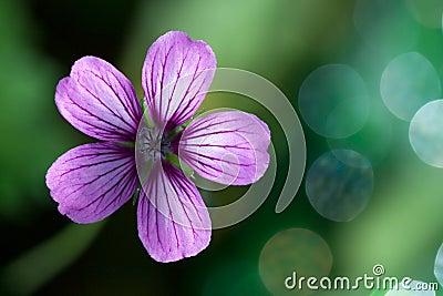 Lavender Purple Wild Geranium Flower