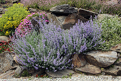 Lavender on the rock garden