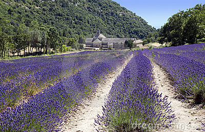 Lavender s rows and Abbey