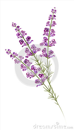 Free Lavender. Watercolor Drawing. Vector Stock Photos - 37019403