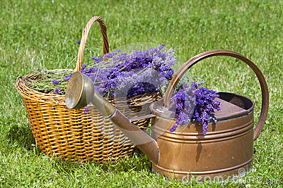 Lavender in a wicker basket and Watering Can