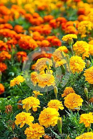 Lawn in a garden with blooming Marigolds