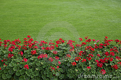 Lawn with red geraniums