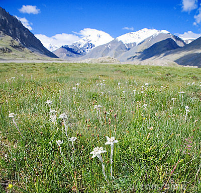 Free Lawn Which Are Growing Edelweiss Stock Photography - 10623762