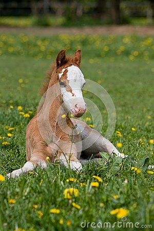 Free Laying Welsh Pony Foal Royalty Free Stock Photos - 32591018