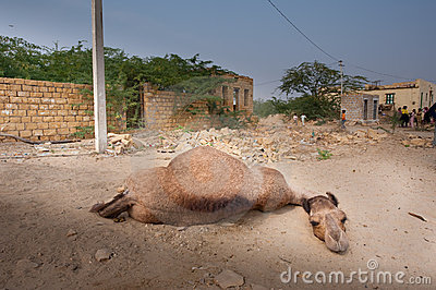 The lazy camel Editorial Photography