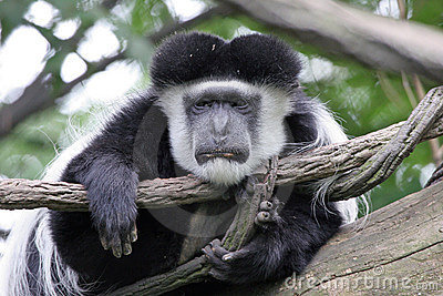Lazy Colobus Monkey