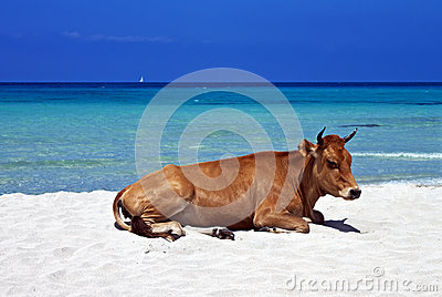 Lazy cow, Saleccia Beach, Corsica