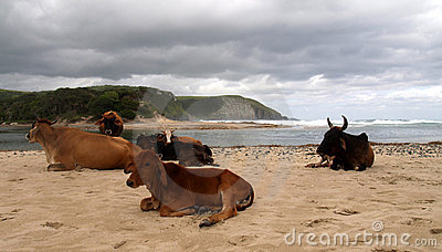 Lazy cows at the beach