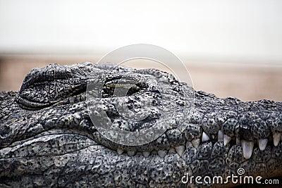 Lazy croc