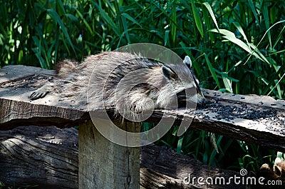 Lazy eater raccoon