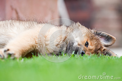Lazy Elo puppy lies on the grass