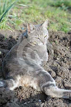 Lazy grey cat laying at garden