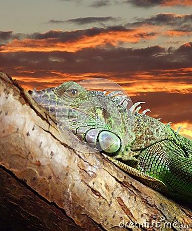 Free Lazy Iguana 02 Stock Image - 5603291