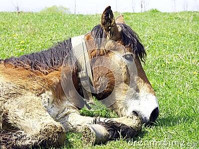 Lazy mule