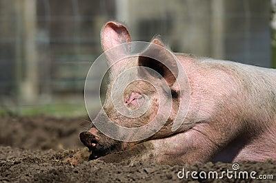 Lazy pig