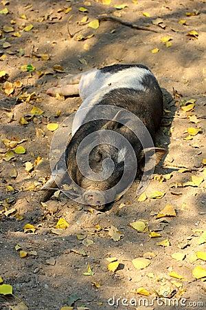 Lazy pig sleeping