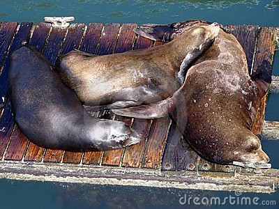 Lazy Sea-lions