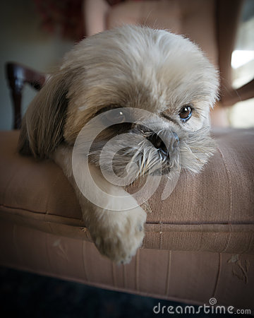 Lazy Shih Tzu Puppy Lying on Chair