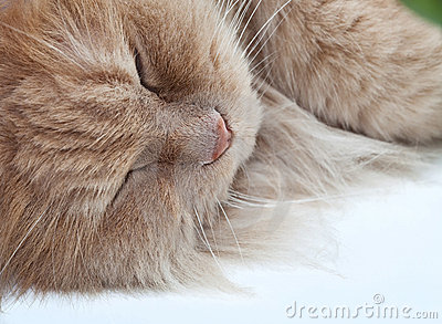 Lazy sleeping persian cat