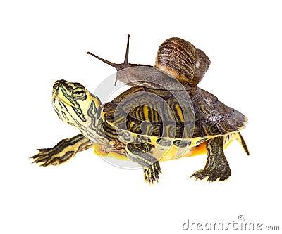 Lazy snail lift on turtle
