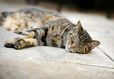 Lazy Tabby Cat Sleeping on Concrete Patio