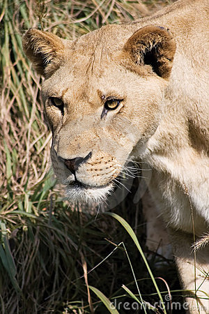 Leão de desengaço