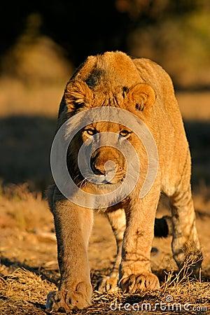 León africano de acecho