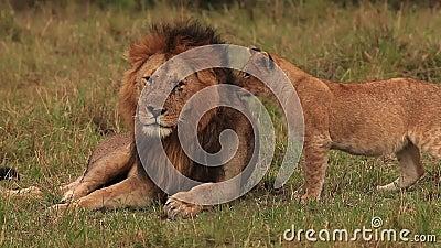 León africano, panthera leo, grupo que se coloca cerca de Bush, Cub que juega con el varón, parque de Samburu en Kenia,