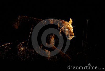 León de acecho