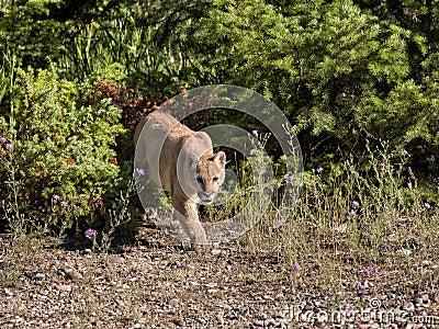 León de montaña en el vagabundeo