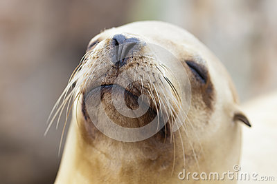León marino que se relaja en la California Sun