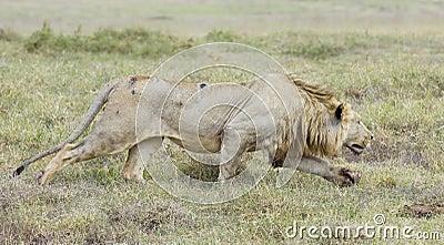León masculino que acecha, (Panthera leo) Tanzania