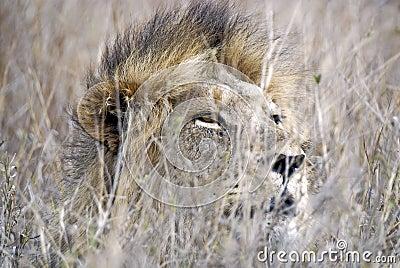 León que oculta en hierba alta