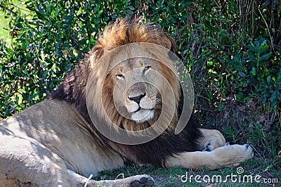 León soñoliento en la sombra