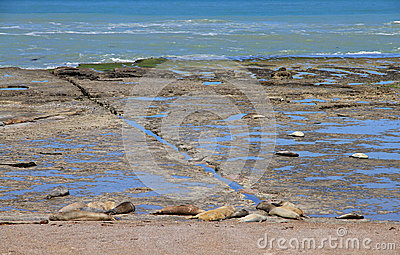 Leões de mar do sono na costa atlântica. Fauna de Argentina.