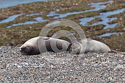 Leões de mar novos - filhotes de cachorro