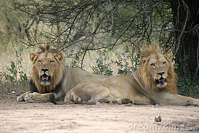 Leões masculinos