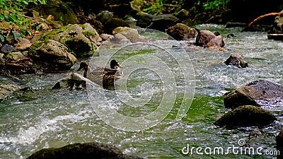Le Anatre Nuotano E Si Nutrono Nella Corrente Forestale archivi video
