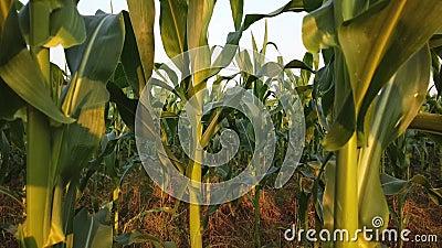 Le champ de maïs au soleil de crépuscule banque de vidéos