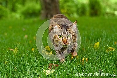 le chat chasse dans l 39 herbe verte photos libres de droits image 7315698. Black Bedroom Furniture Sets. Home Design Ideas