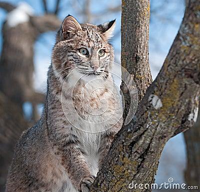 Le chat sauvage (rufus de Lynx) grimpe à l arbre