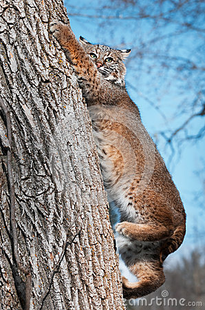 Le chat sauvage (rufus de Lynx) grimpe vers le bas à l arbre