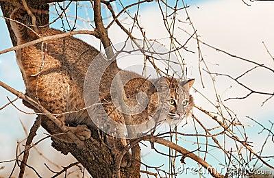 Le chat sauvage (rufus de Lynx) se mélange dedans dans des branchements d arbre