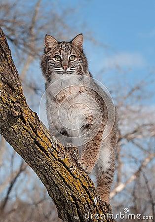 Le chat sauvage (rufus de Lynx) se tient sur la branche