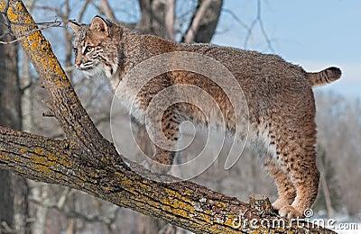Le chat sauvage (rufus de Lynx) se tient sur la branche de l arbre regardant à gauche