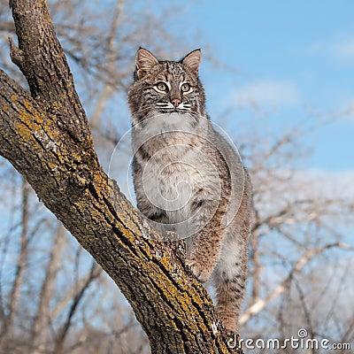 Le chat sauvage (rufus de Lynx) se tient sur la branche semblant exacte