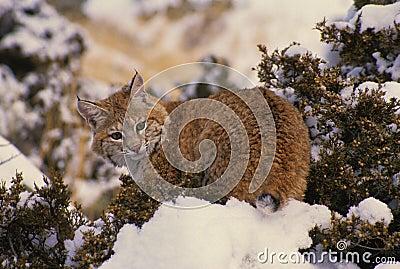 Le chat sauvage sur la neige a couvert le cèdre